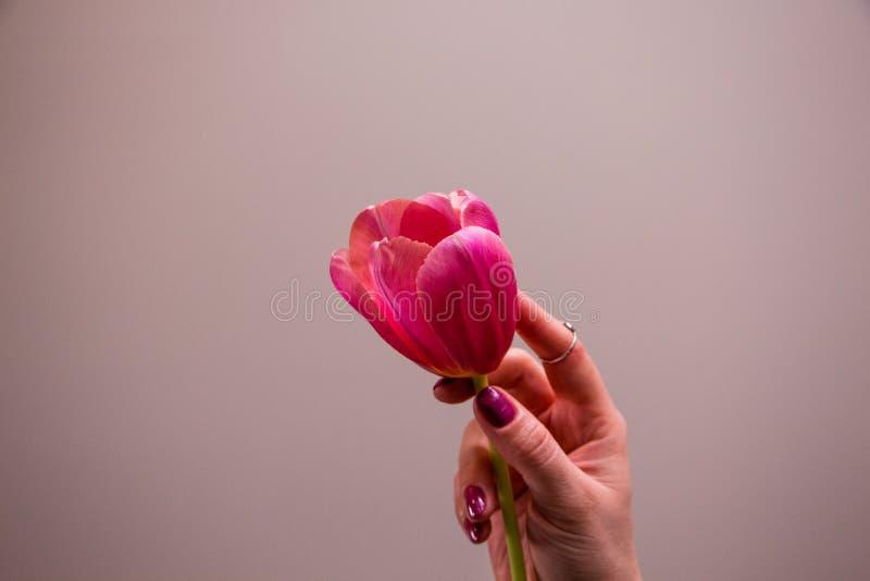 Rosa Tulpe in der Hand lizenzfreie stockfotografie