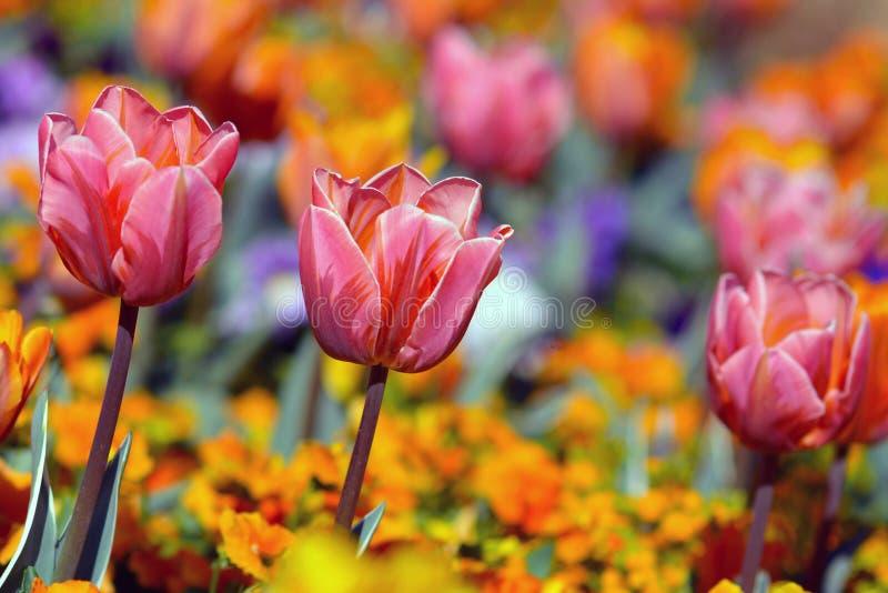 Rosa Tulpe in der Mitte des Feldes mit bunten Frühlingsblumen auf undeutlichem Hintergrund stockfotos