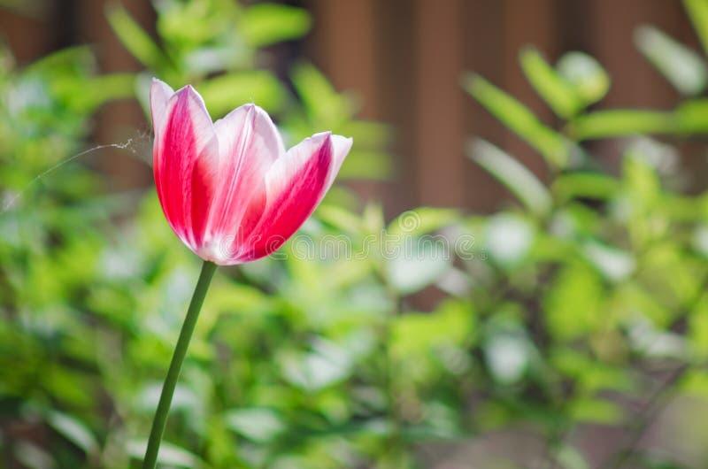 Rosa Tulpe, Fr?hlings-Blume stockfotografie