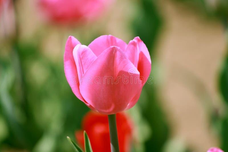 Rosa Tulpe im Garten lizenzfreies stockbild