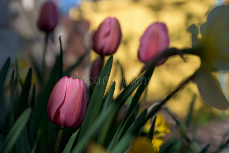 Rosa Tulpe im Schattenabschluß oben lizenzfreies stockbild