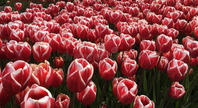 Rosa Tulpen auf dem Gebiet Zeewolde stockbild