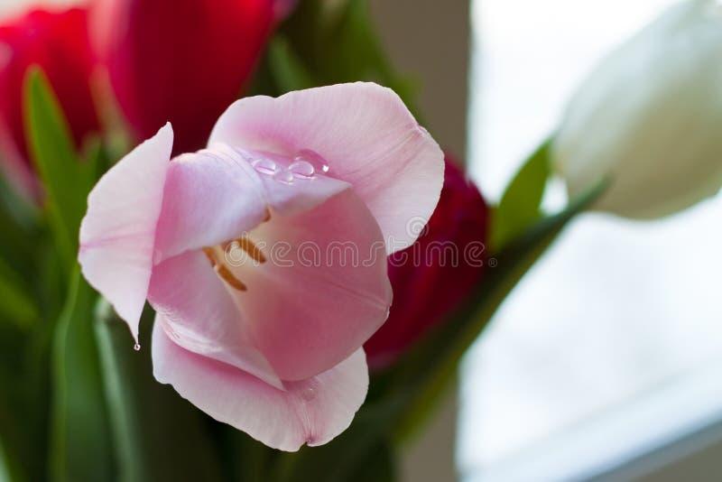 Rosa Tulpen mit Wassertropfen lizenzfreies stockbild