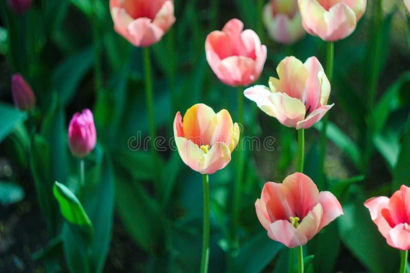 Rosa Tulpen, Rasen von Blumen, Sommernatur stockfoto