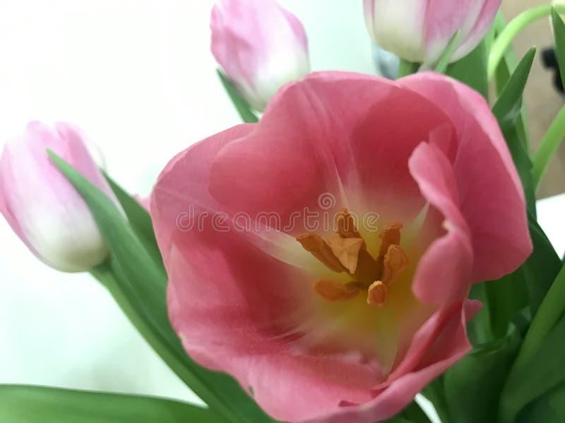 Rosa Tulpen an Valentinsgruß ` s Tag für Ihr geliebtes lizenzfreie stockfotografie