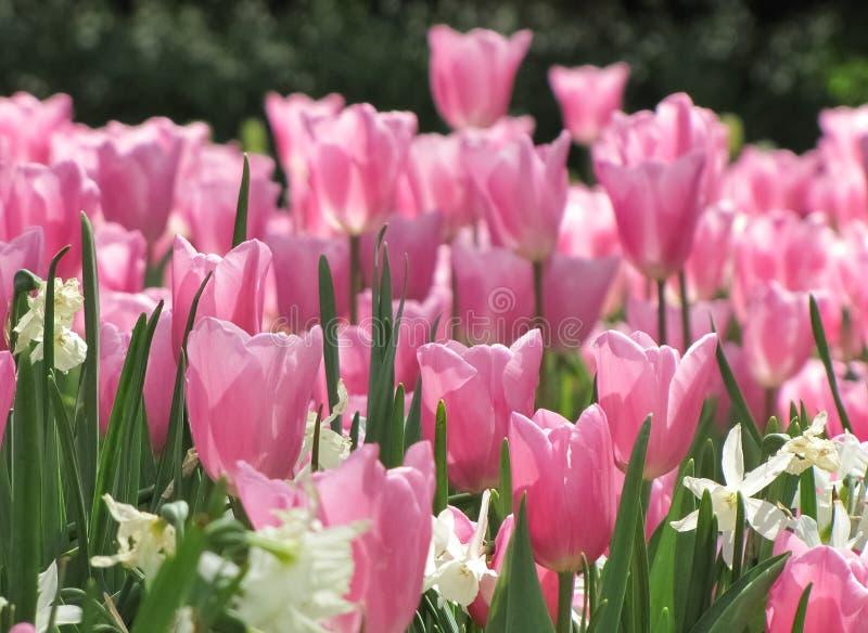 Rosa-Tulpen-weiße Narzissen stockfotografie