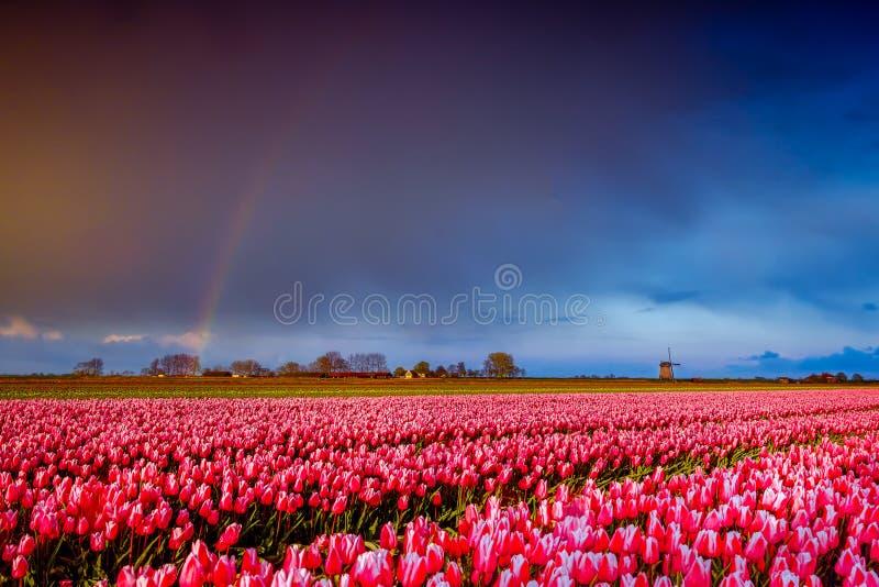 Rosa Tulpenblumen gestalten mit Regenbogen in Holland, Frühlingszeitblumen in Keukenhof landschaftlich stockfoto