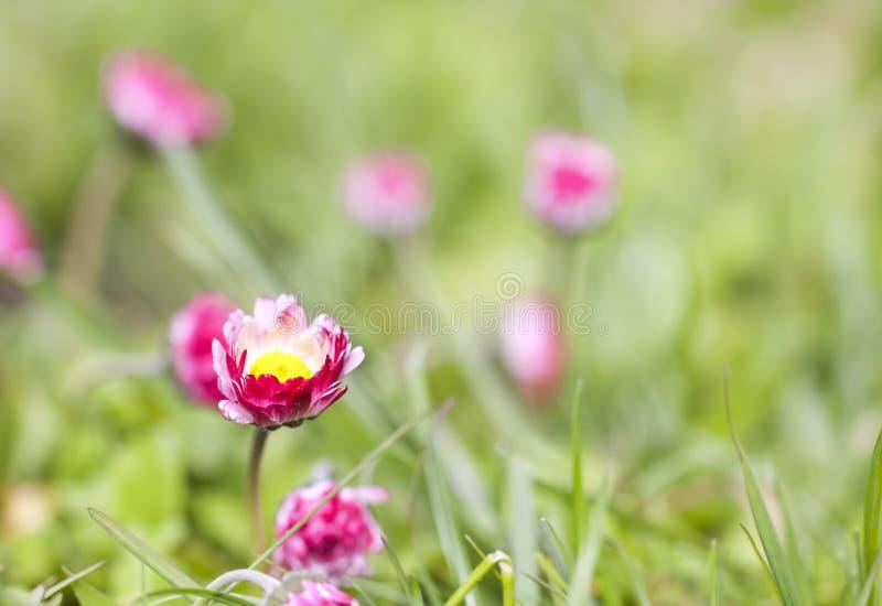 Rosa tusenskönablommor växer i trädgården royaltyfri bild