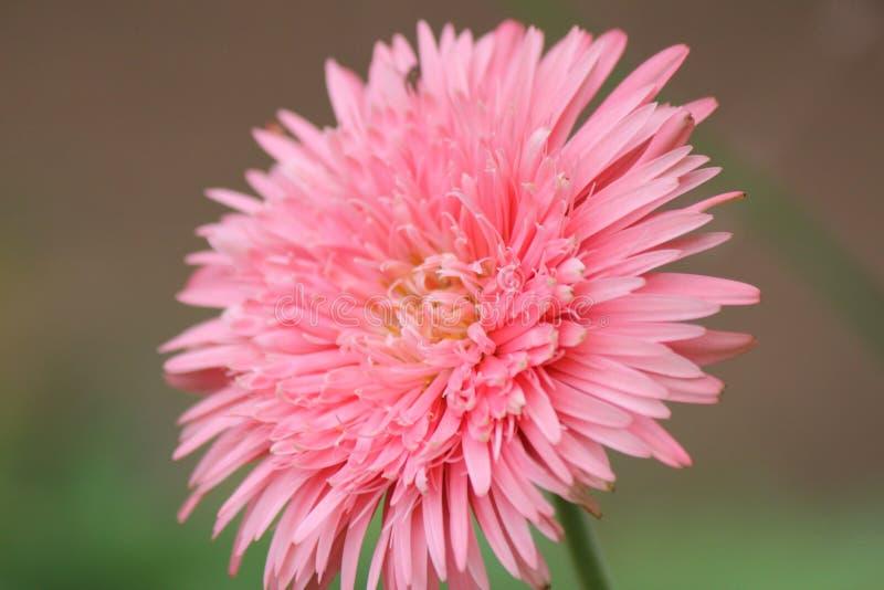 Rosa tusenskönadvärg arkivbild