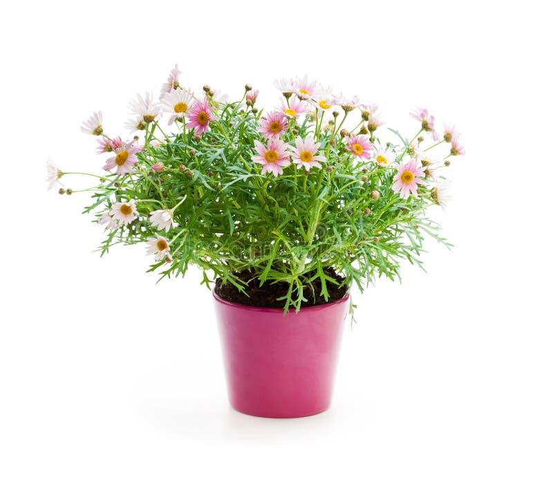 Rosa tusenskönaprästkrageperenner i blomkrukan som isoleras på wh arkivfoton