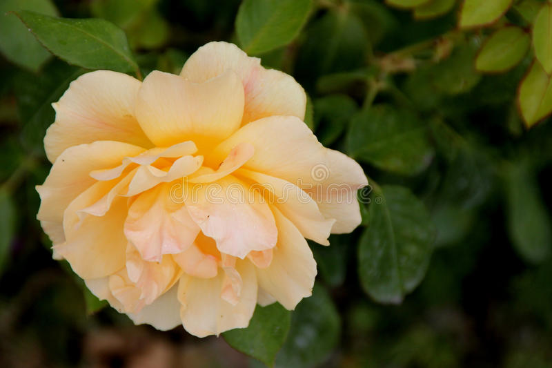 Rosa u. x27; Easygoing& x27; stockbild
