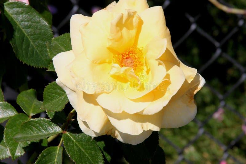 Rosa u. x27; Sonnenschein Daydream& x27; stockfotografie
