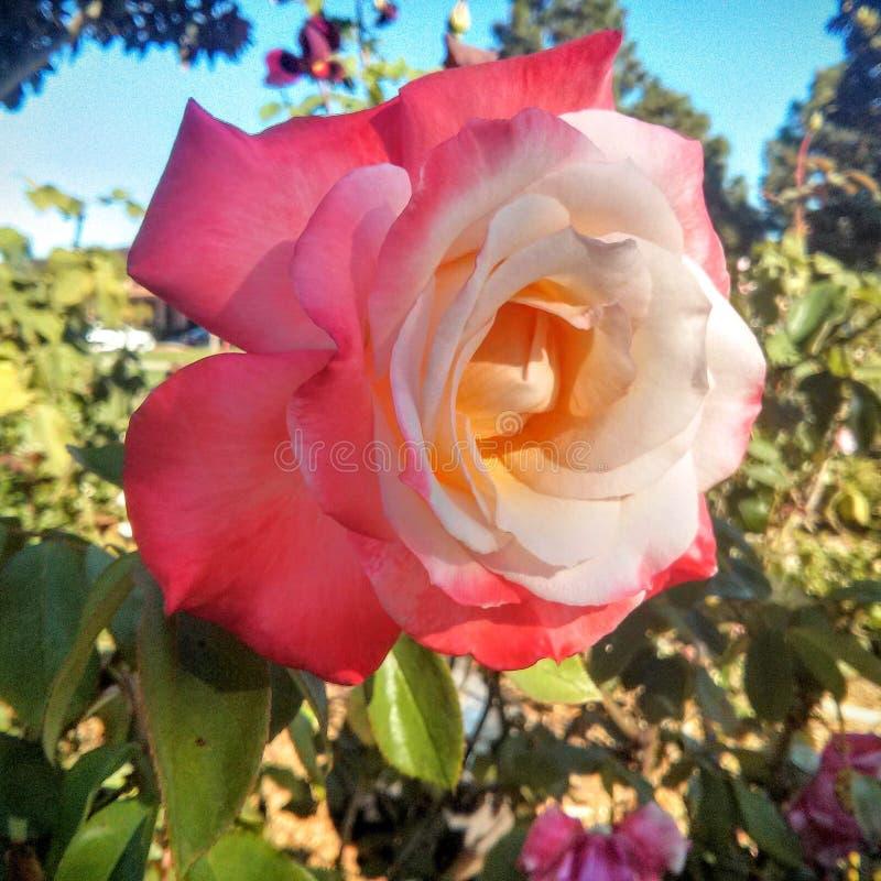 Rosa u. weiße Blume lizenzfreies stockfoto