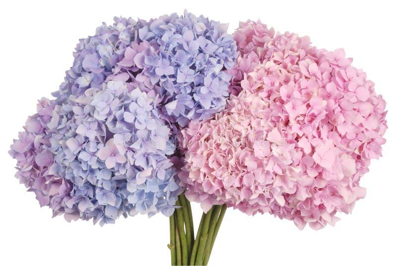 Rosa und blauer Blumenhortensie Beschneidungspfad stockfoto
