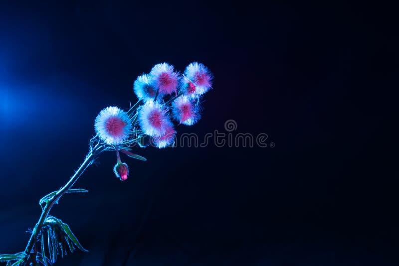 Rosa und blauer Löwenzahn stockfotos