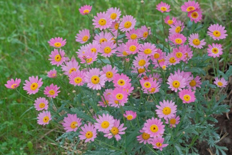 Rosa und Blumen der gelben Kamille stockbild