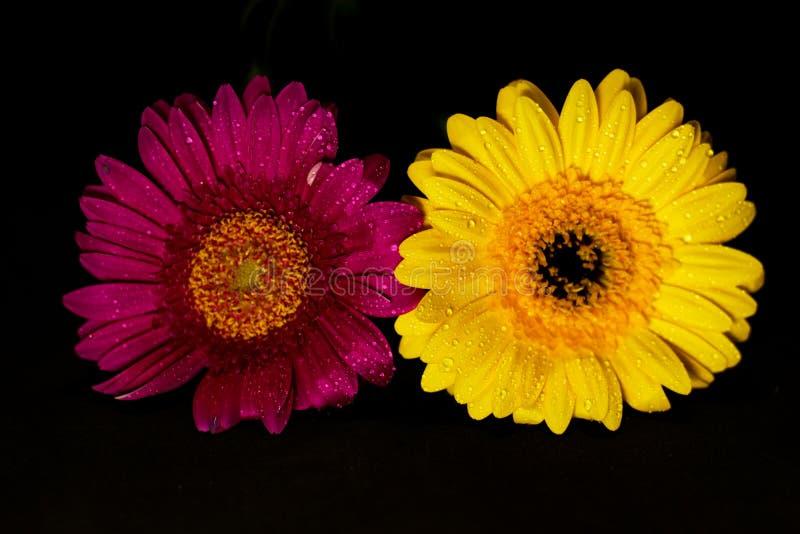 Rosa und gelbe Blumen des Gerbera zwei auf Schwarzem lizenzfreie stockfotos