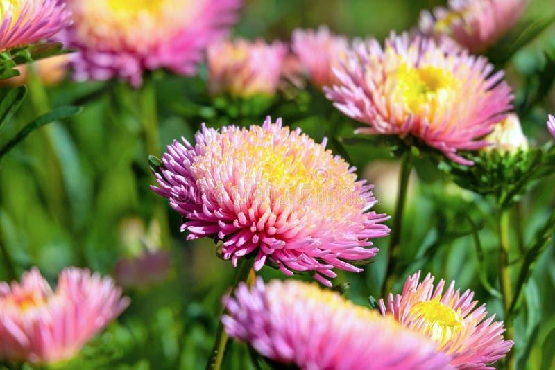 Rosa und gelber Astern Callistephus chinensis stockfotografie