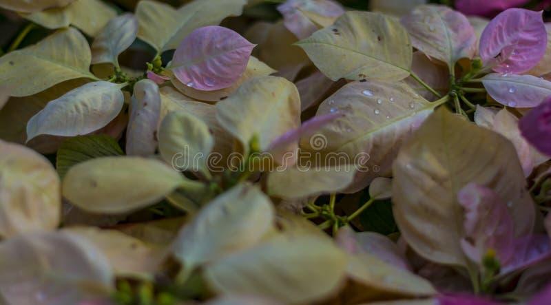 Rosa und gelbes Laub - Bokeh/unscharfe Anzeige stockbild