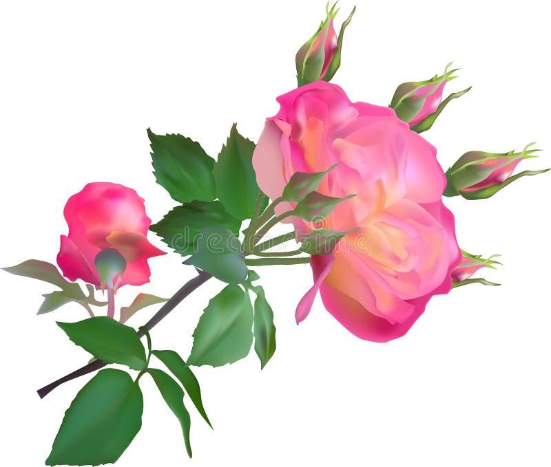 Rosa- und Gelbrose mit Blüte und den Knospen auf Weiß stock abbildung