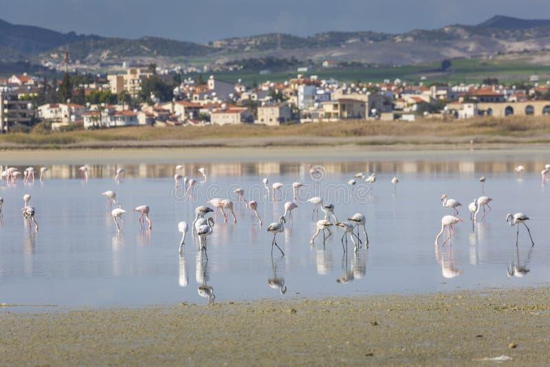 Rosa und graue Flamingos am Salzsee von Larnaka, Zypern lizenzfreie stockbilder
