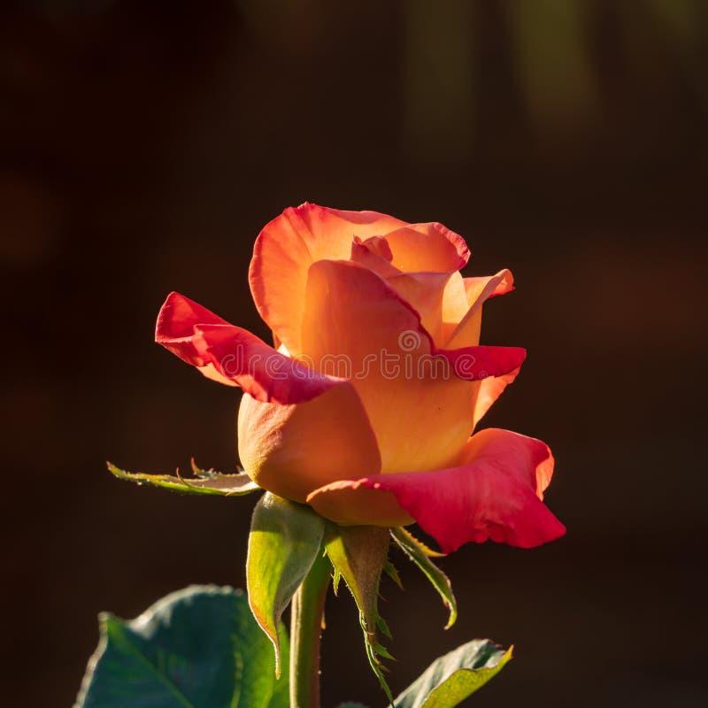 Rosa und orange Rose stockfotos