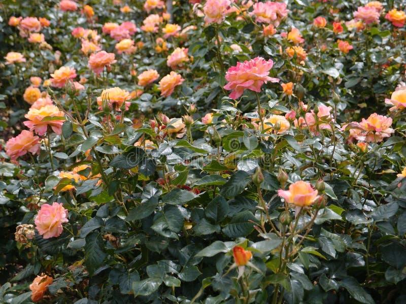 Rosa und orange Rosengarten lizenzfreies stockbild