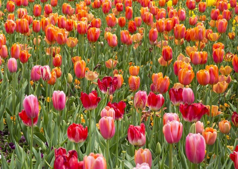 Rosa und orange Tulpen stockfotografie