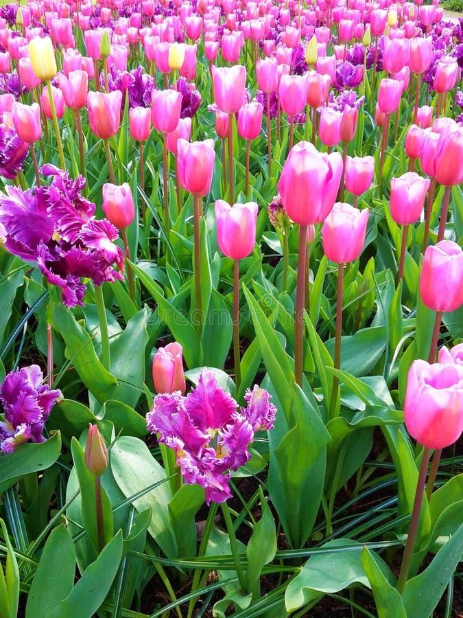 Rosa und purpurrote Tulpen in Keukenhof stockfotos