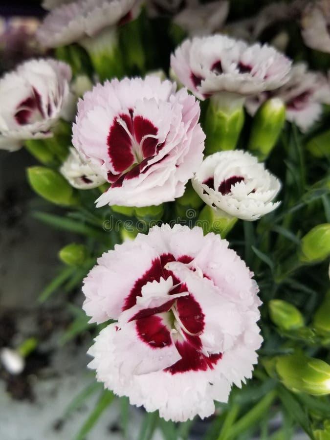 Rosa und rote Nelkensorte lizenzfreie stockbilder