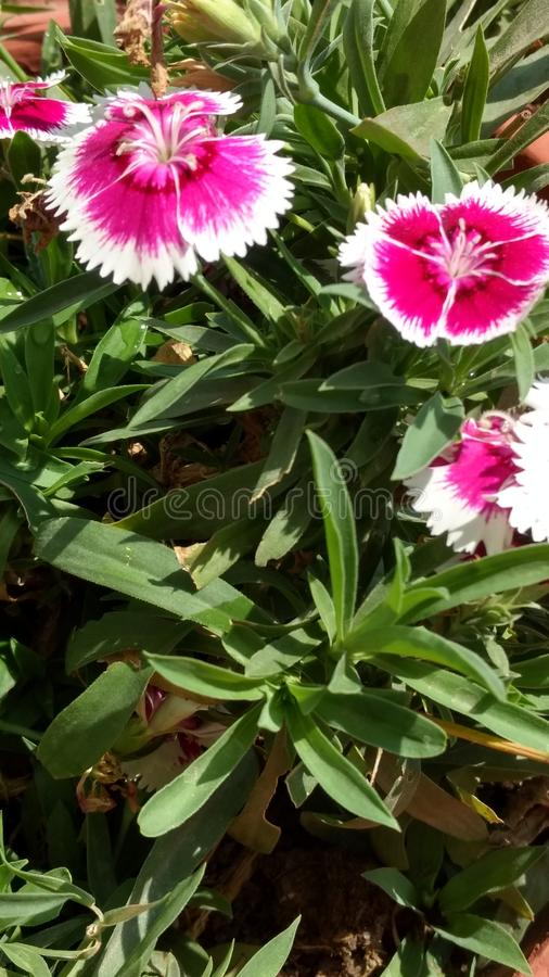 Rosa und Weiß lizenzfreies stockbild