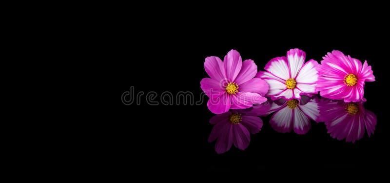 Rosa und weiße Blume des Kosmos stockbild