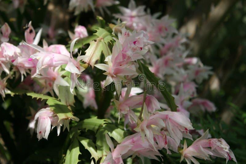 Rosa und weiße Blumen und Grün-Blätter lizenzfreie stockbilder