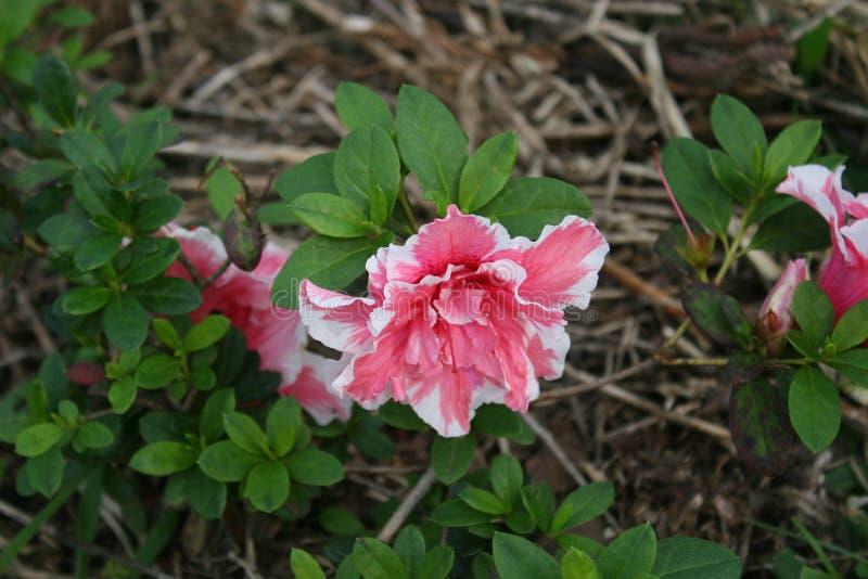 Rosa und weiße Blumen und Grün-Blätter stockfoto