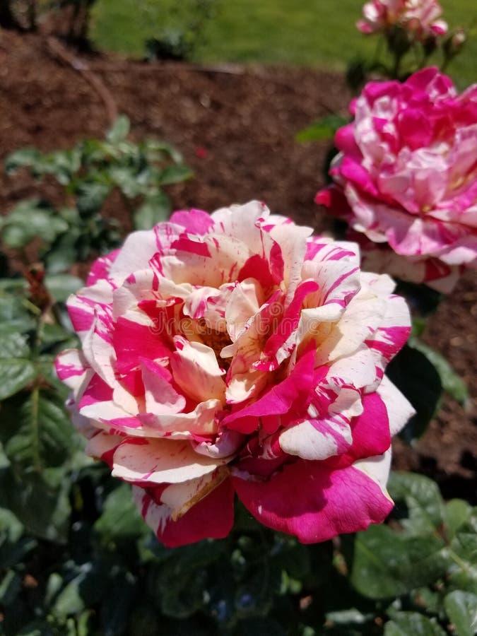 Rosa und weiße Rose stockfotos