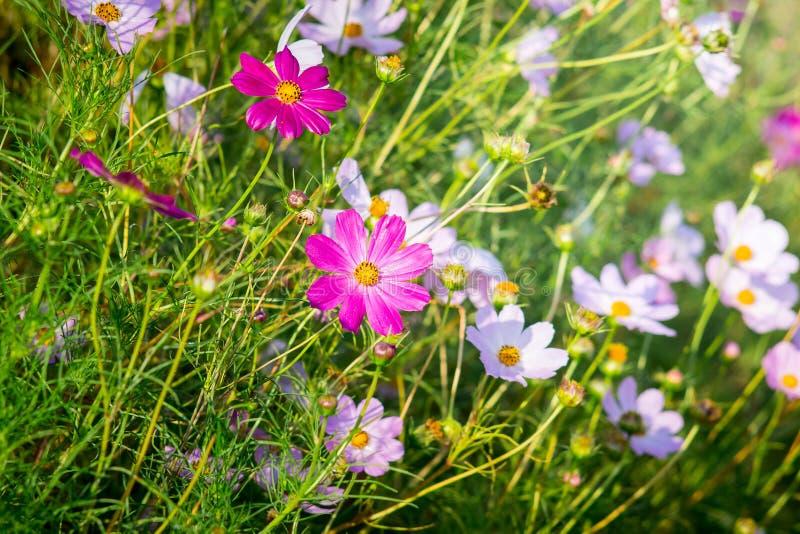 Rosa- und weißeblumen kosmeya im Blumengarten im sonnigen weather_ lizenzfreie stockbilder