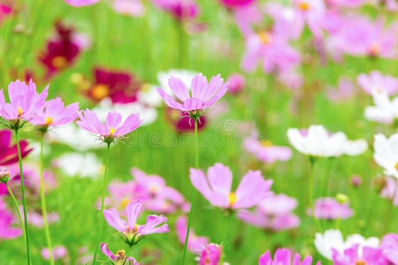 Rosa Und Weißer Kosmos Blüht Im Garten, Schöne Blume Stockfoto ...