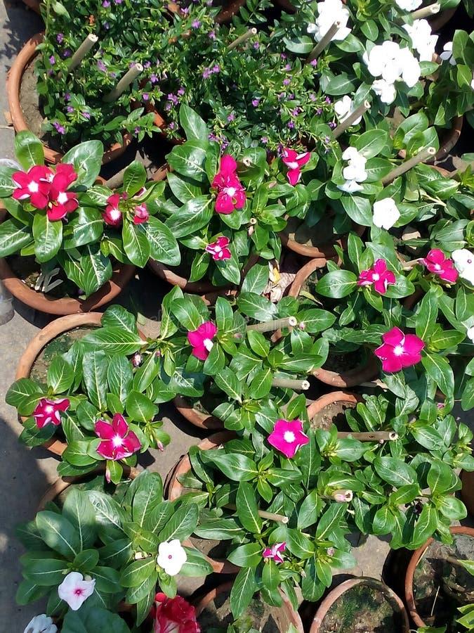 Rosa und weißes flowers†‹ stockbild