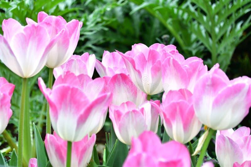 Rosa-und weißetulpe mit grünem Hintergrund stockbild