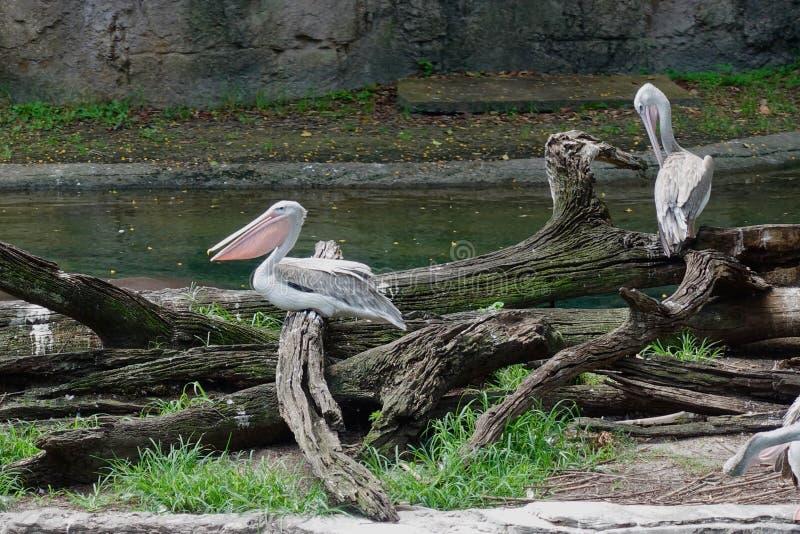 Rosa unterstützte Pelikane am Zoo stockfotos