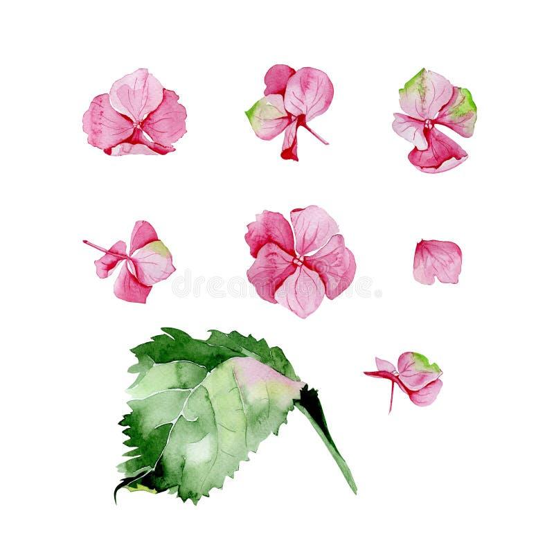 Rosa uppsättning för blom- design för vattenfärgvanlig hortensia vektor illustrationer
