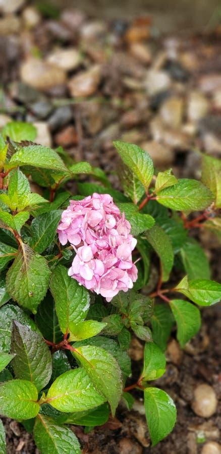 Rosa ursnygg gräsplan för vanlig hortensia royaltyfri fotografi