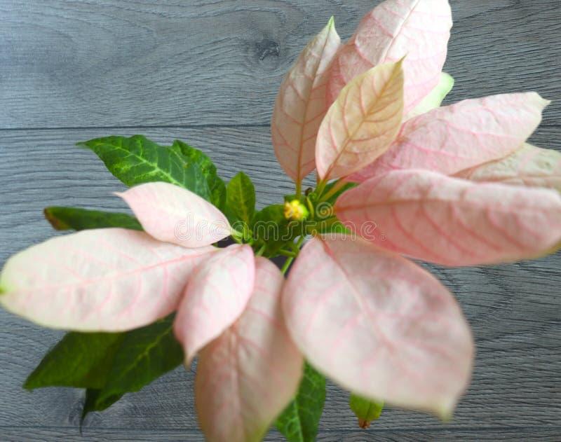 Rosa växa för blomma royaltyfria bilder