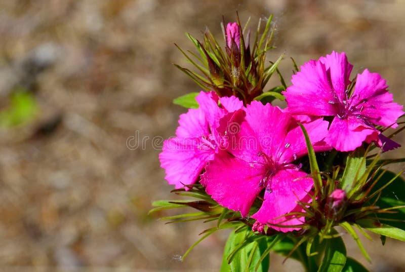 Rosa växa för nejlikablomma som är löst i den blom- bakgrunden för sommarforestBright royaltyfri fotografi
