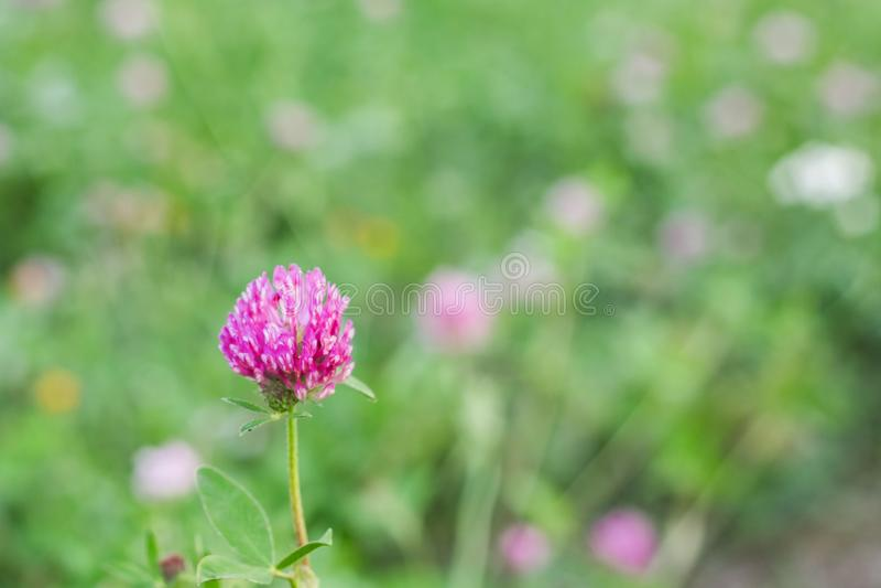 Rosa växt av släktet Trifoliumblomma på en bakgrund av grönt gräs arkivbild