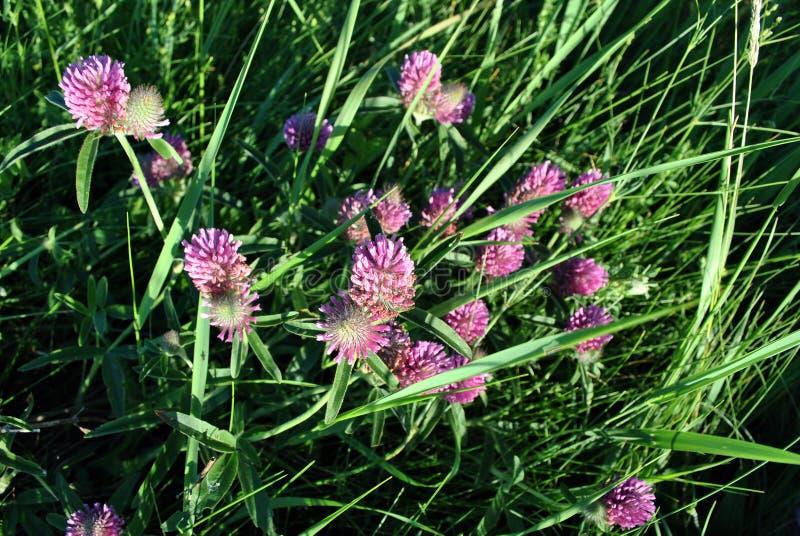 Rosa växt av släktet Trifoliumblommor på mjuk bakgrund för gräs för bokeh för smaragdgräsplan royaltyfria bilder