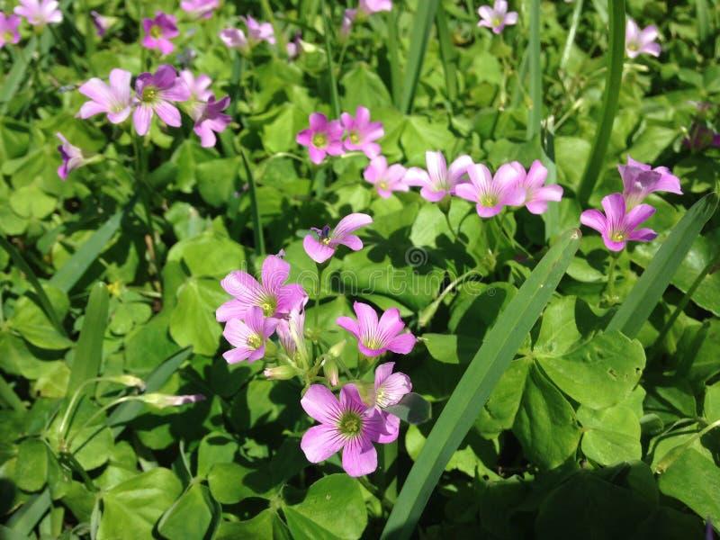 Rosa växter för Wood syra som (Oxalis) blomstrar på gräsmatta i Florida arkivbild