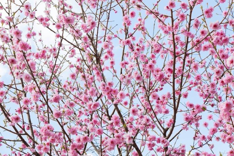 Rosa vårblomning för körsbärsrött träd arkivbilder