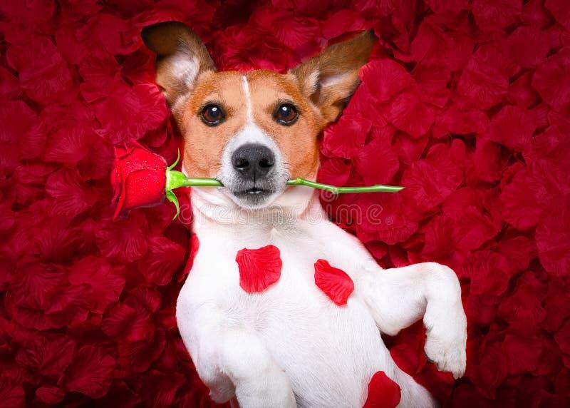 Rosa valentin för hundförälskelse arkivfoto