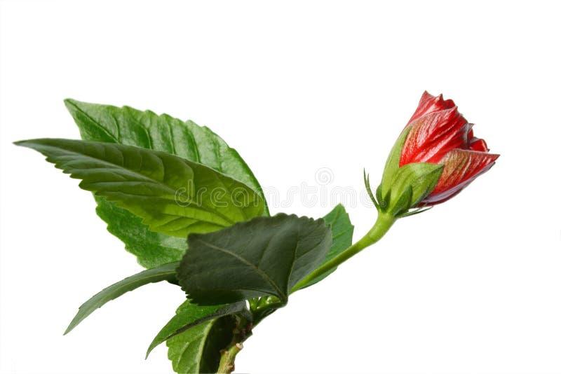 Rosa van de hibiscus sinensis stock fotografie